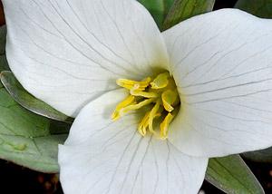 Iowa flora plant identification snow trillium mightylinksfo